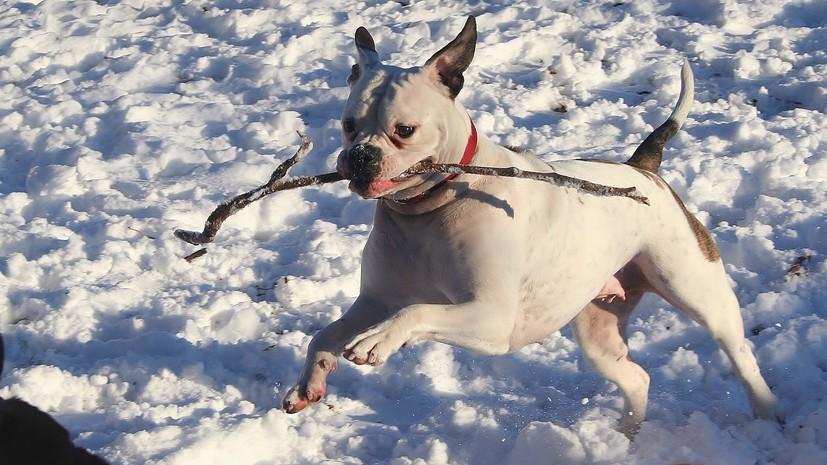 В Госдуме предложили ввести разрешение на содержание «бойцовых» собак