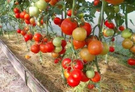 Какие томаты будем сажать в 2019 году?