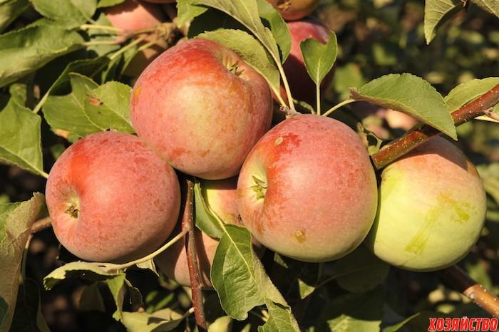 Яблони, которые не паршивят