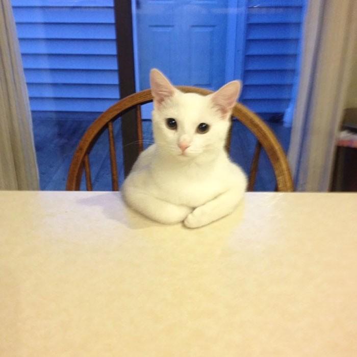 """""""Так моя кошка выпрашивает еду"""" кошки, приколы, прикольные фото животных, смешные кошки"""