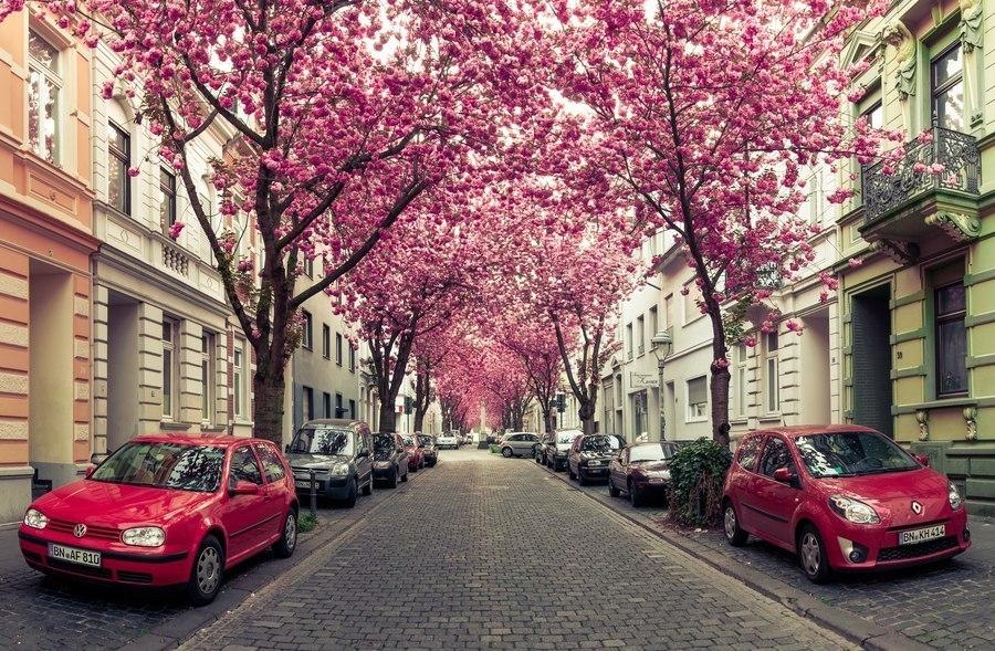 Цветение вишни на улице Heerstraße в городе Бонн, Германия