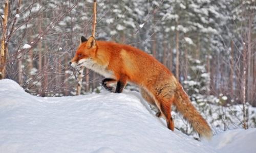 На Алтае занялись истреблением лисиц