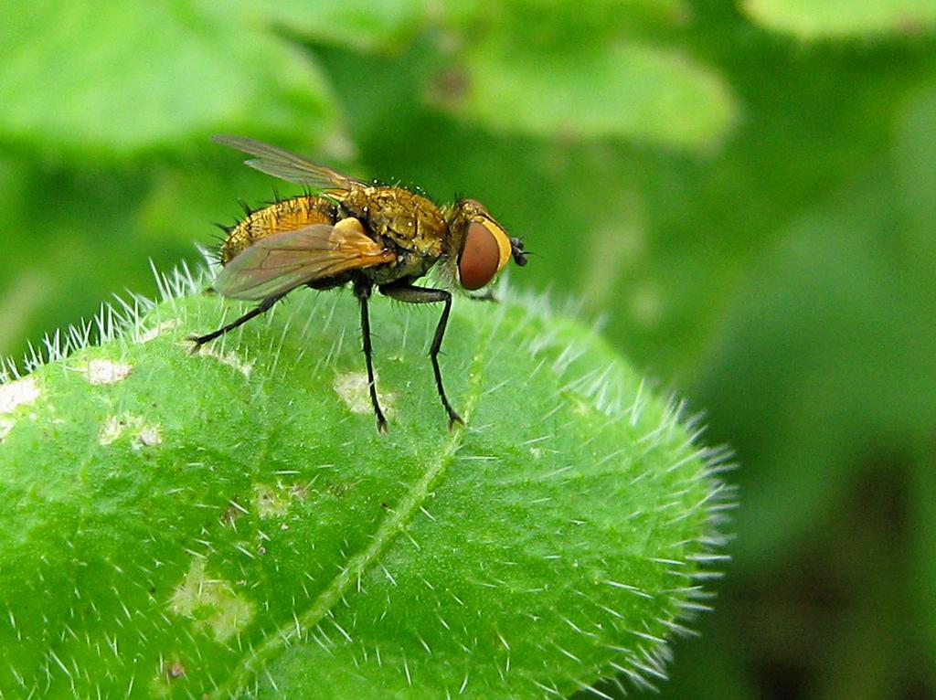 муха - позолоченное брюхо