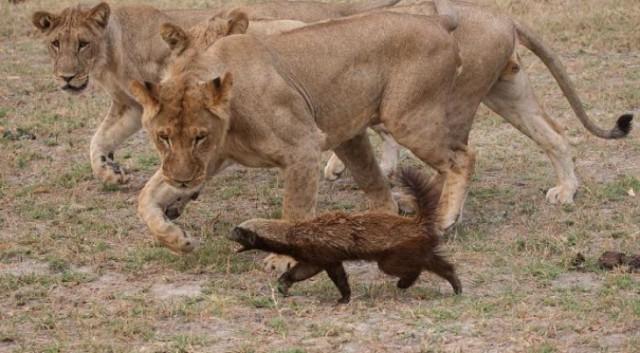 Медоед против львов. Фото