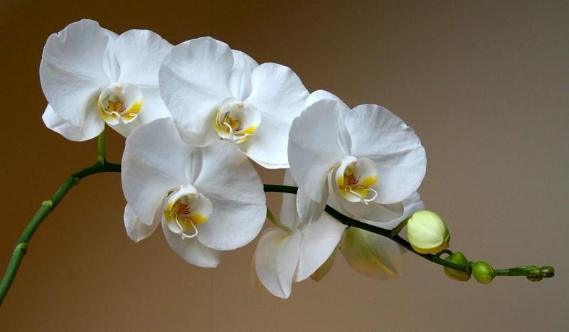 янтарная кислота из аптеки для орхидей
