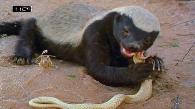Медоед против змеи. Фото