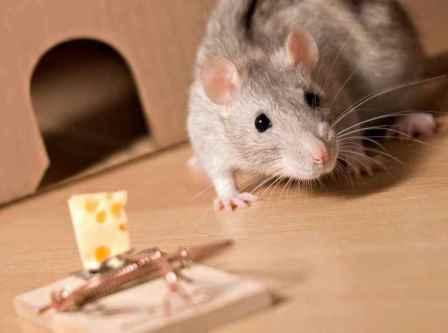 Как избавиться от крыс в доме или квартире?