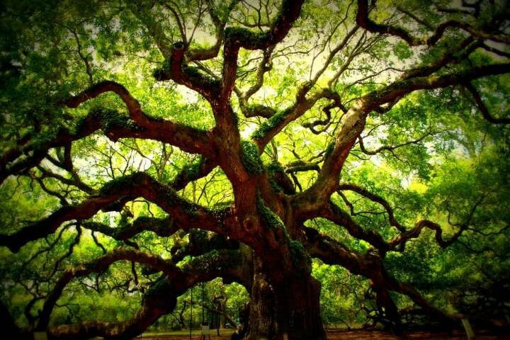 Дуб Ангела — одно из самых старых деревьев в мире