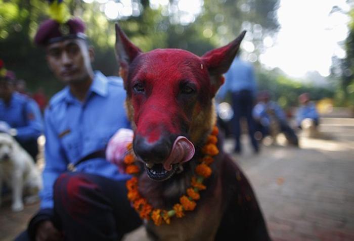 Собаки на фестивале огней в Непале.