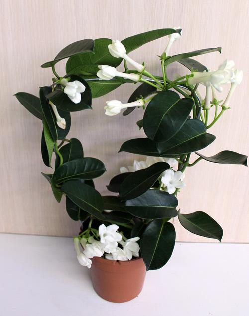 Цветы жасмин комнатный