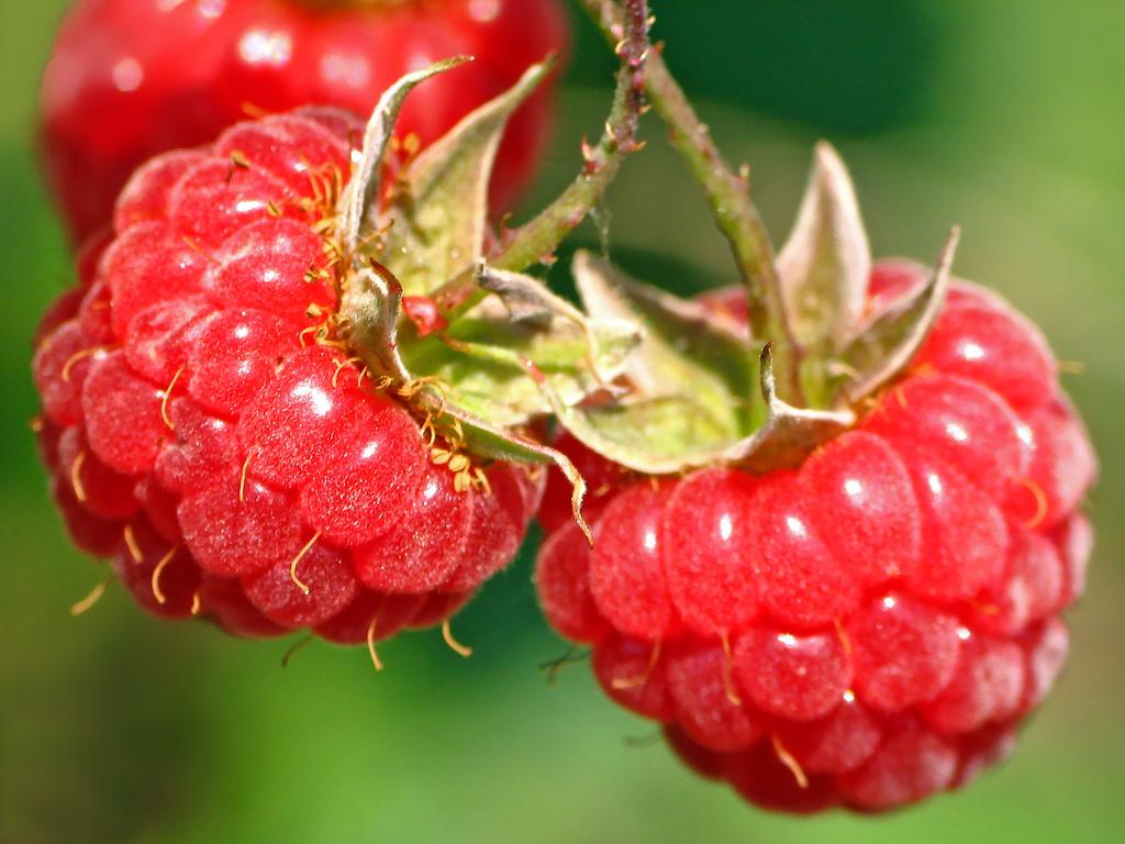 Почему пропадает малина? Основные ошибки садоводов