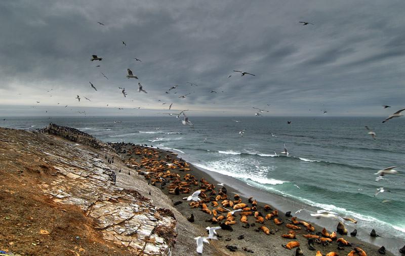 Лежбище морских котиков история, сахалин, факты