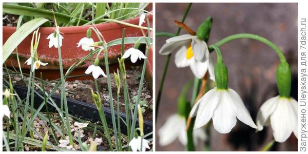 Белоцветник никейский, внешний вид и его цветки крупным планом. Фото с сайта pacificbulbsociety.org