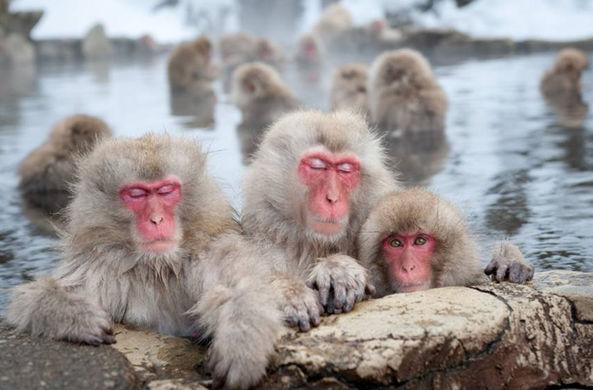 Японские макаки купаются в горячих источниках, чтобы расслабиться
