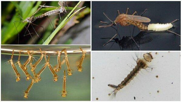 Биография комара с пелёнок и до самого конца. Просто и увлекательно