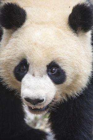 Чем занимаются панды на воле