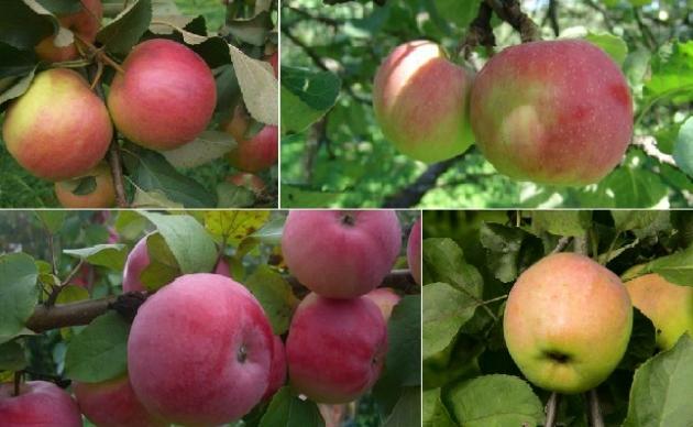 5 самых популярных сортов яблонь