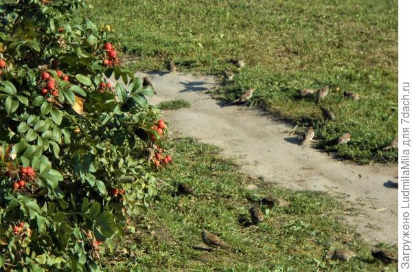Горец птичий (спорыш) - небольшое растение с большими возможностями