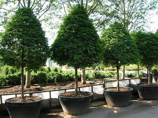 Как правильно сажать плодовые, лиственные и хвойные деревья на дачном участке