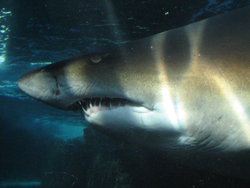 У побережья Австралии акула …
