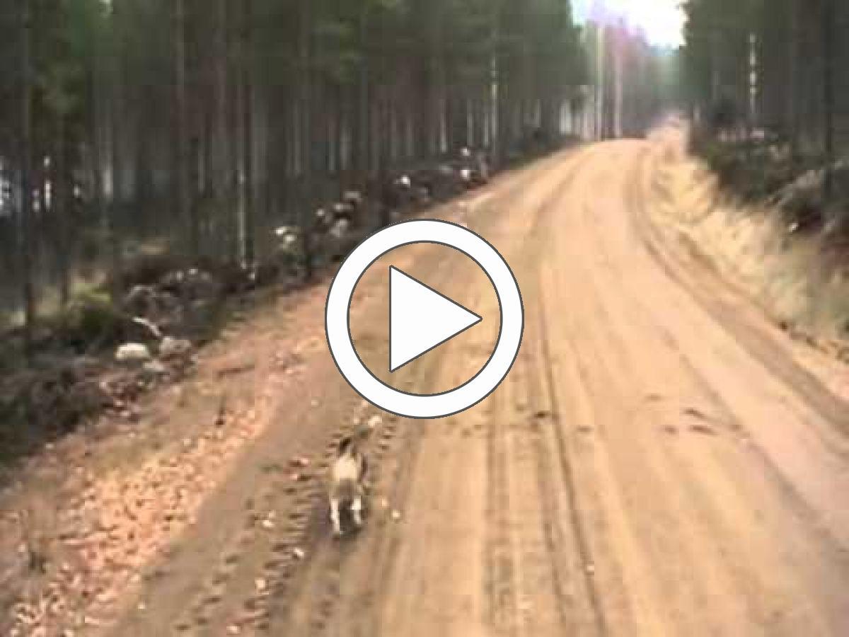 Заяц и собака никак не разберутся, кто на кого нападает