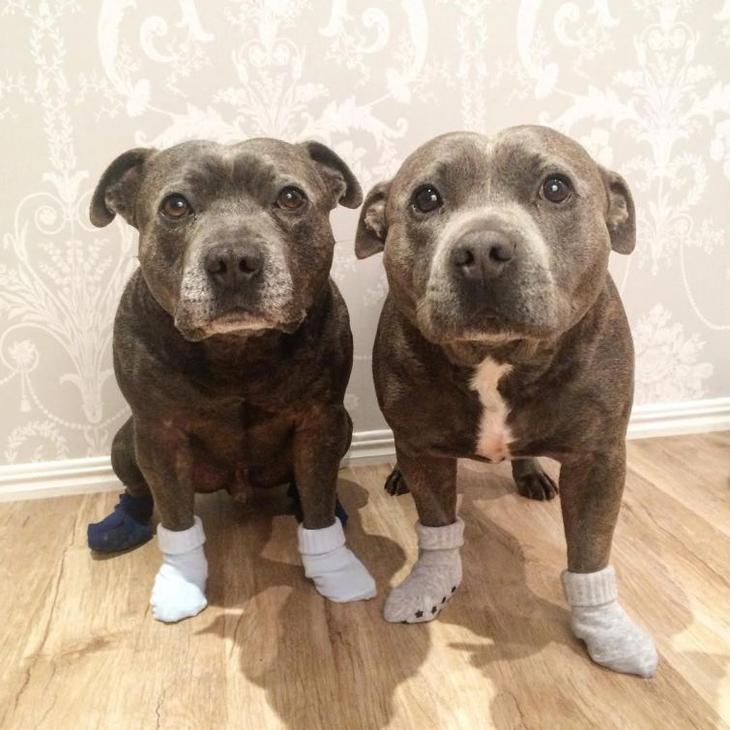 Собаки-обнимаки: супер милые стаффордширы Даррен и Филипп покорившие тысячи сердец по всему миру