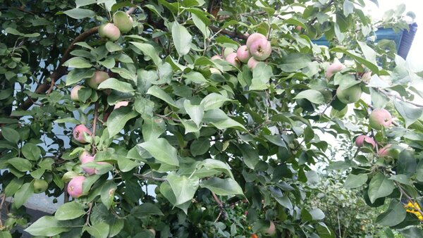 Как помочь яблоне в период созревания плодов