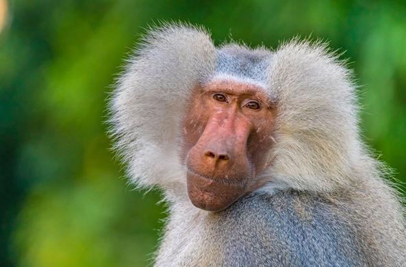 Команда бабуинов совершила побег из лаборатории