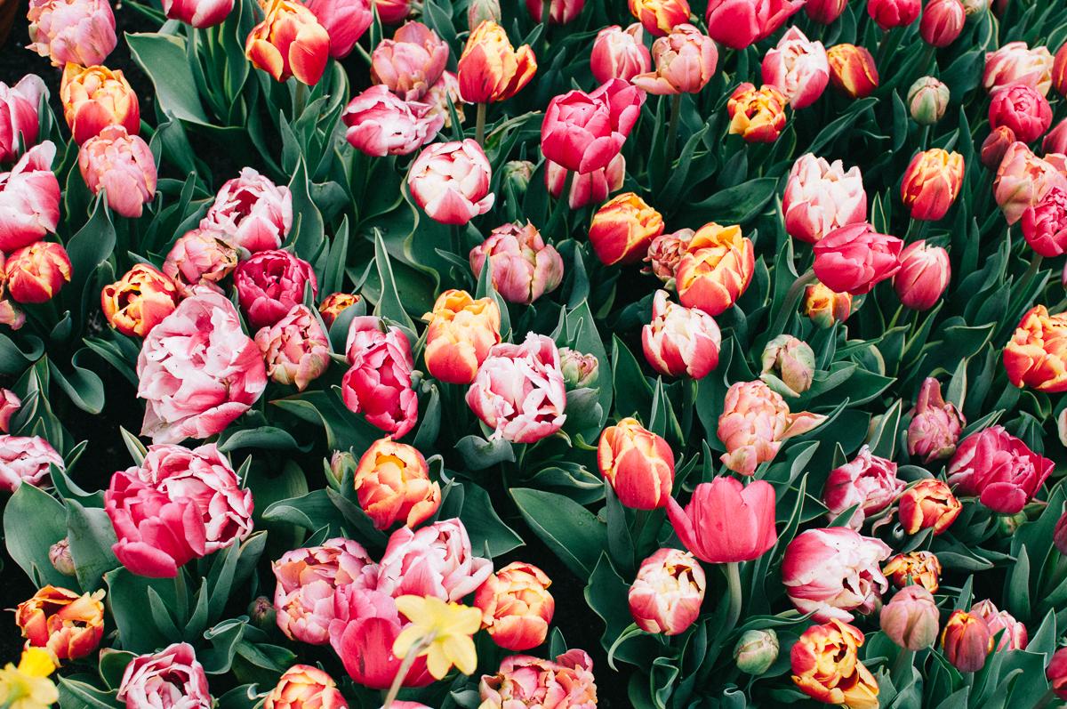 Парк цветов Keukenhof, апрель 2018