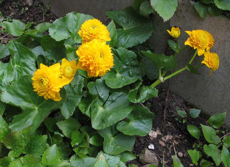 Цветок калужница и описание