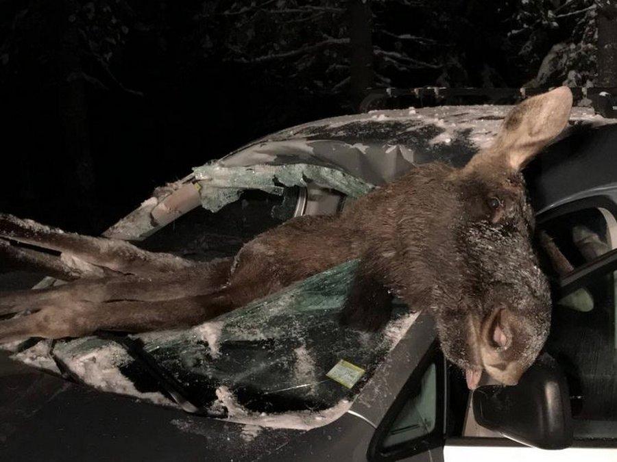 Лось влетел в салон автомобиля на ночной дороге