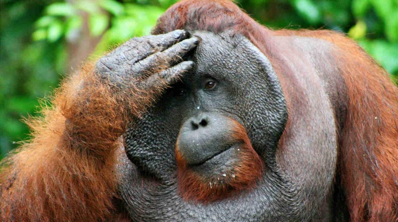 Орангутаны продемонстрировал…