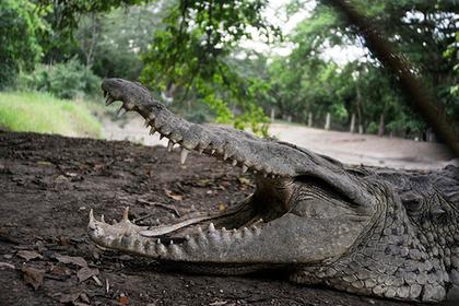 ВЗамбии выследили крокодила-убийцу