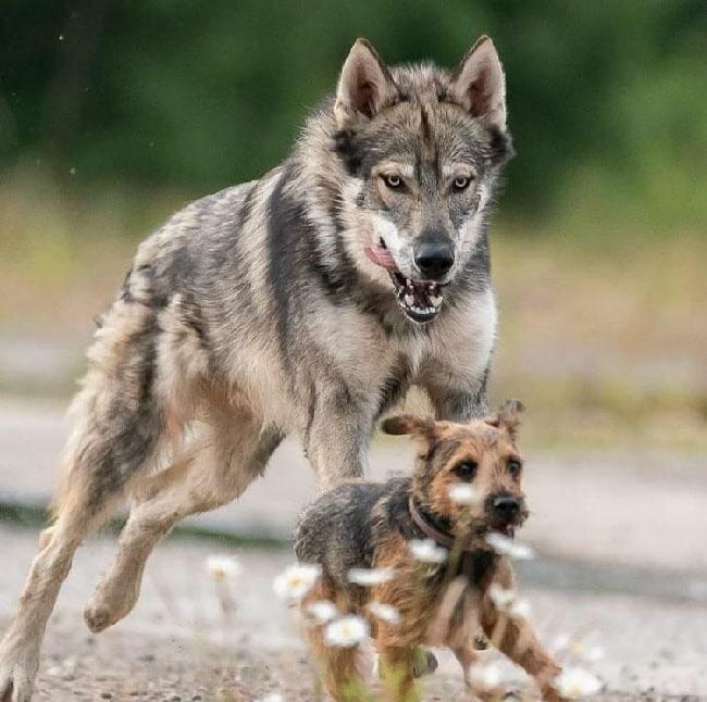 Тамаскан: Снаружи волк, внутри — щенок