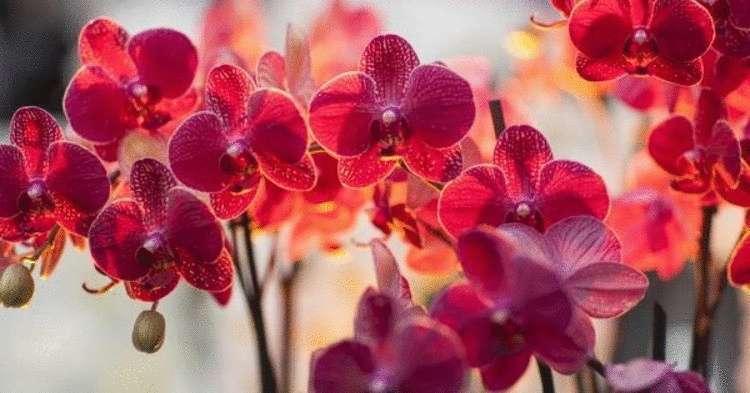 Орхидея-сильный женский тали…