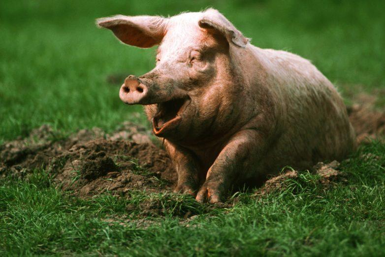 Свинья — друг человека? О пересадке органов