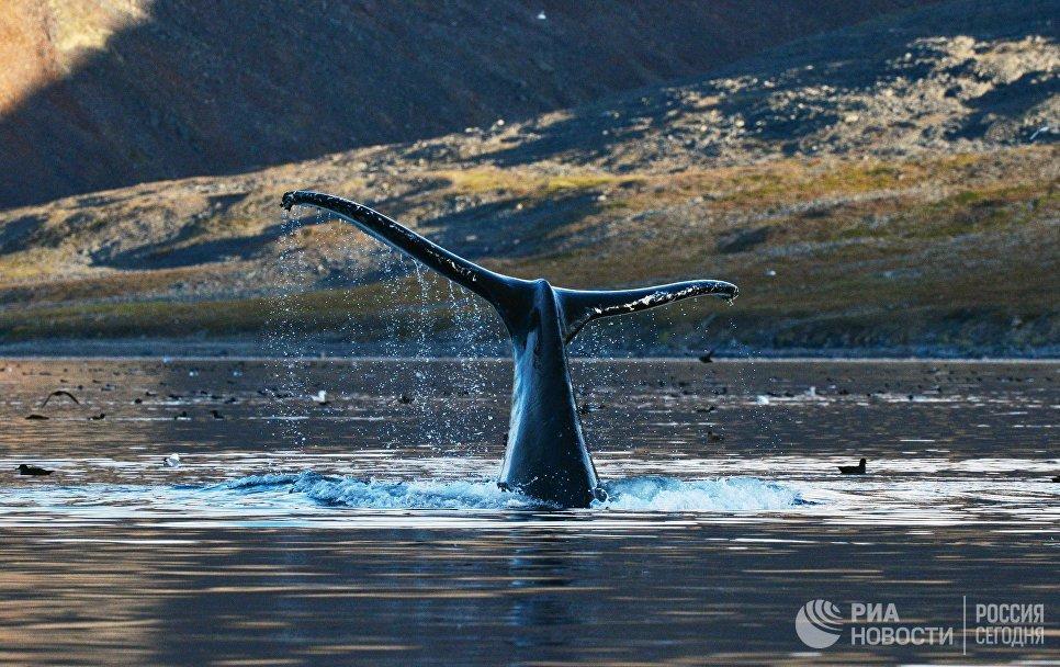 Серый кит в проливе Сенявина у острова Ыттыгран в Чукотском автономном округе.