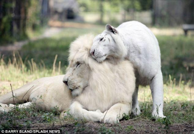 Вот к чему может привести любовь белоснежного льва и белоснежной тигрицы