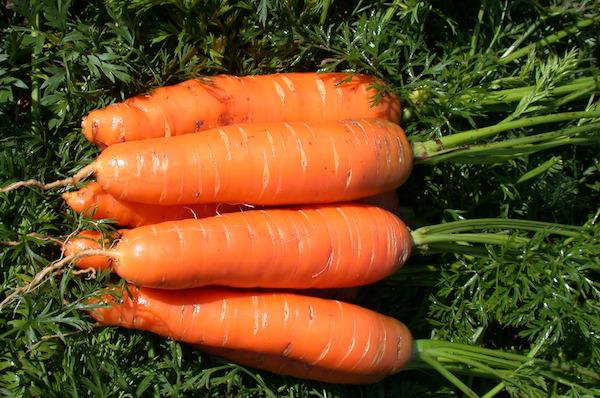 Не знаете, какую морковь сажать? Сажайте нантскую!