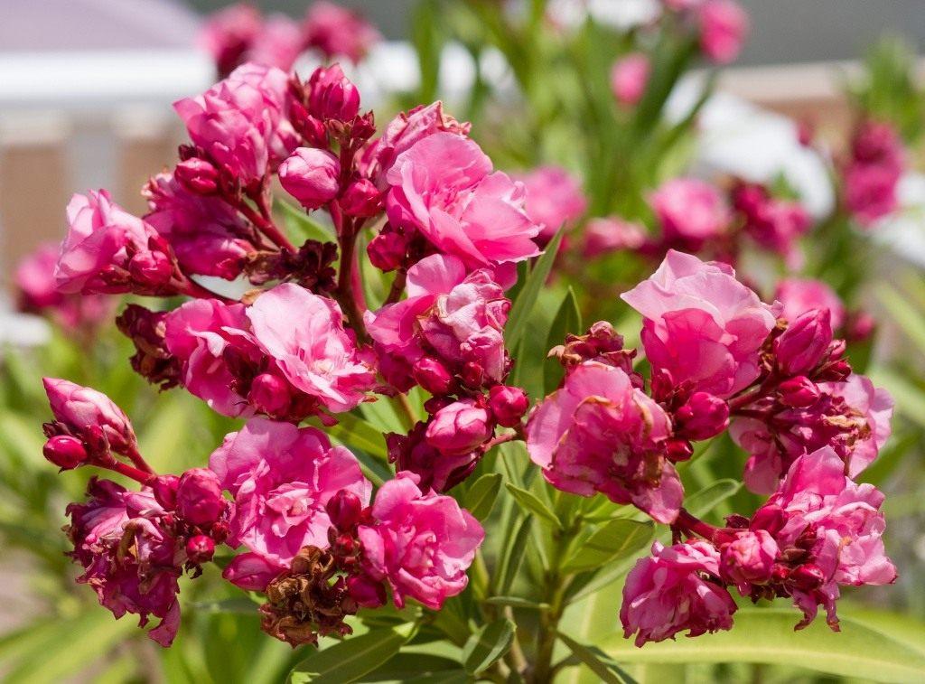 Олеандра комнатное растение Можно ли выращивать дома?