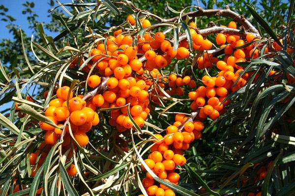 Целебные свойства плодов облепихи