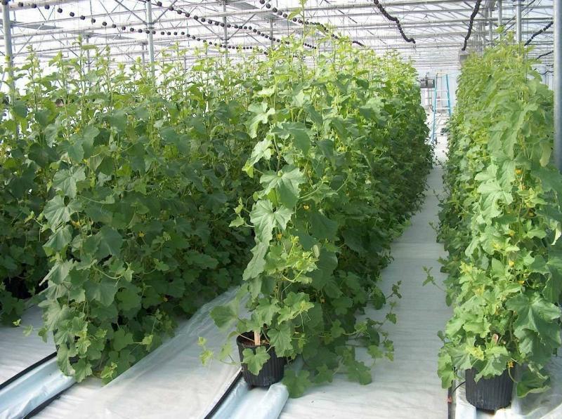 Лучшие сорта огурца для... Выращивание огурцов в теплице