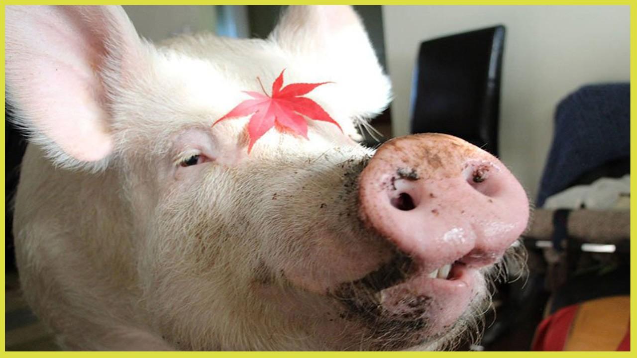 Мама свинка и армия поросят: милые и смешные животные