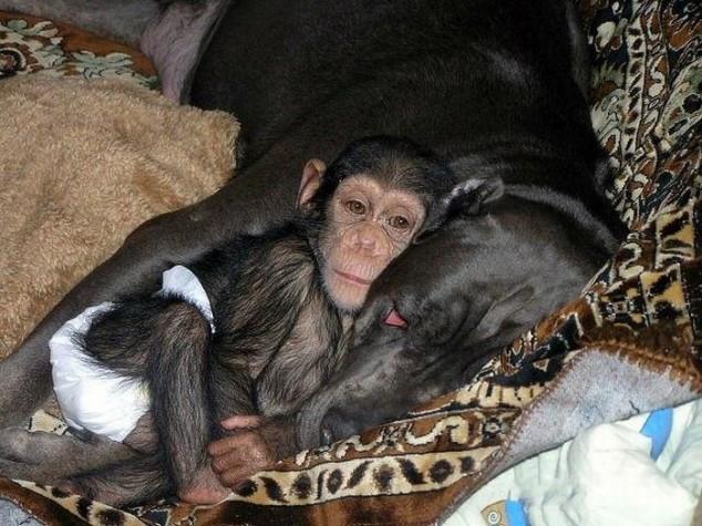 От крошечного шимпанзе отказалась мама и тогда он решил показать его своей огромной собаке!