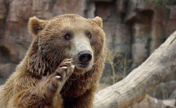 Голодные волки окружали медвежат, их мама умоляла о помощи, встретившись взглядом с дедом…