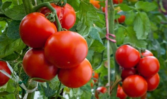 Отличные томаты без рассады