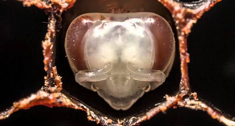 Пчелы-кукушки: даже среди пч…
