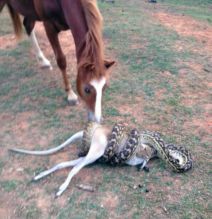 Лошадь наблюдает как питон пытается проглотить кенгуру