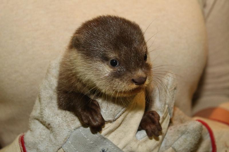 Немецкий зоопарк показал первые фото четырех выдрят, родившихся в августе