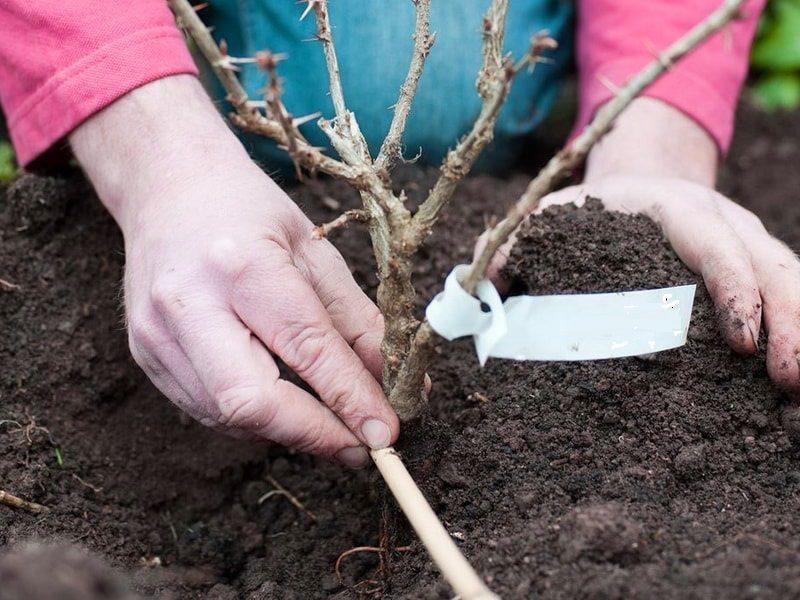 как правильно посадить крыжовник осенью